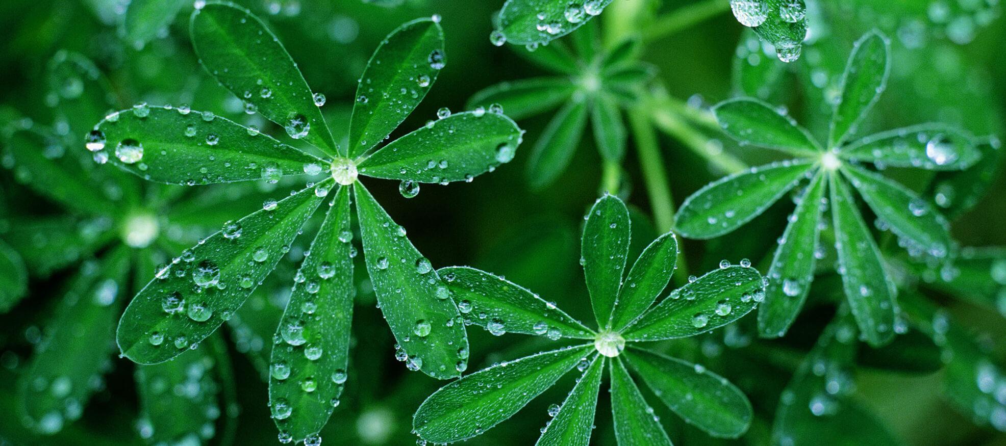 leaves water drops