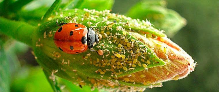 myzus persicae ladybug