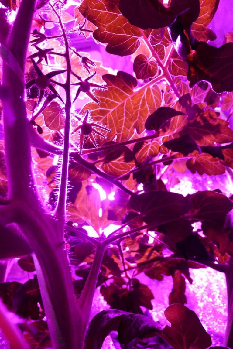 indoors tomatoes hydroponics