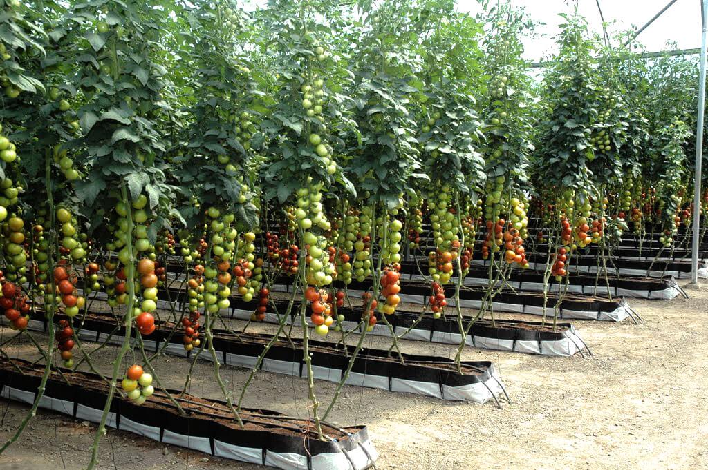 Tomatoes Hydroponics