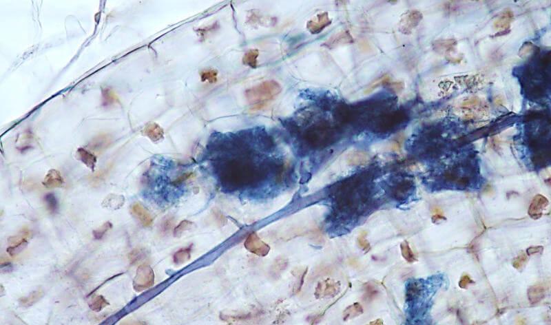Arbusculos-intraradicis