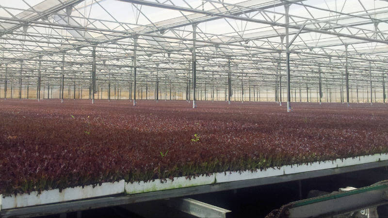 Lettuce-baby-leaf-greenhouse
