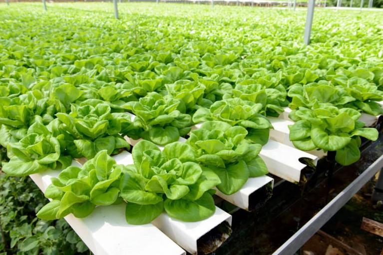 hydroponics crops